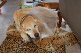 Brody_after_surgery