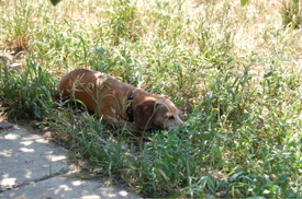 Bailey_sleeping_in_shade_july_15