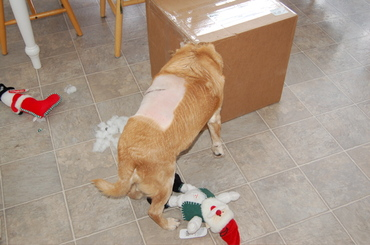 Goldie_with_head_in_box
