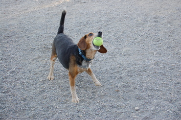 Briggs_with_tennis_ball