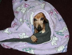 Bailey_under_blanket