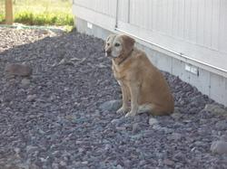 Goldie_waiting